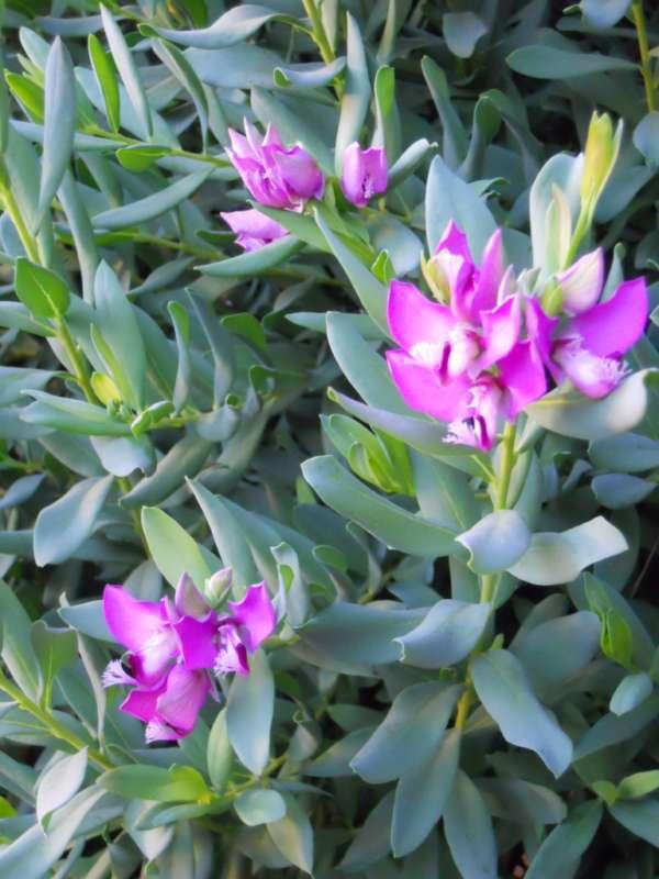 Polygala myrtifolia v 1