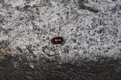 Choerocoris sp. (Scutelleridae)