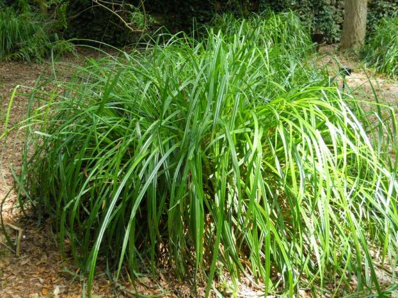 Carex pendula 2