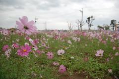 blossom(0.0), wildflower(0.0), flower(1.0), field(1.0), garden cosmos(1.0), plant(1.0), flora(1.0), meadow(1.0), cosmos(1.0), grassland(1.0), petal(1.0),
