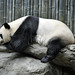Small photo of Giant Panda Bear (Ailuropoda melanoleuca)