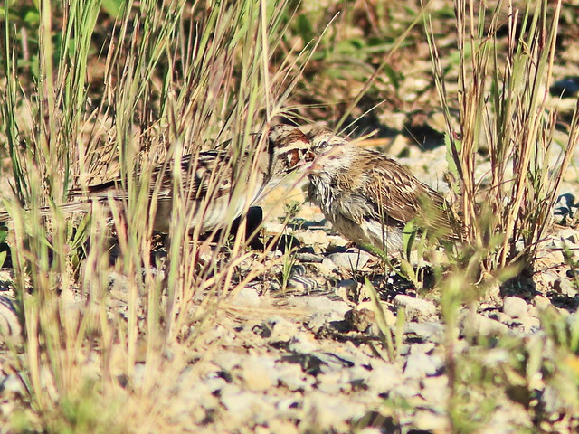 Lark Sparrow adult feeding fledgling HD 02-20170702