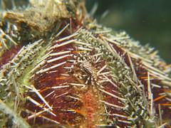 Zebra Crab - Zebrida Adamsii