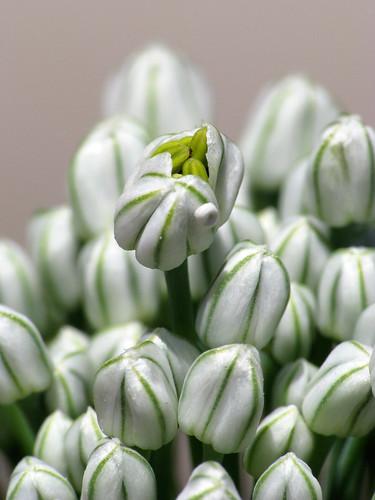 white flower macro yellow woodland washington cluster wa onion blooms dcr250 raynox raynoxdcr250 canons5