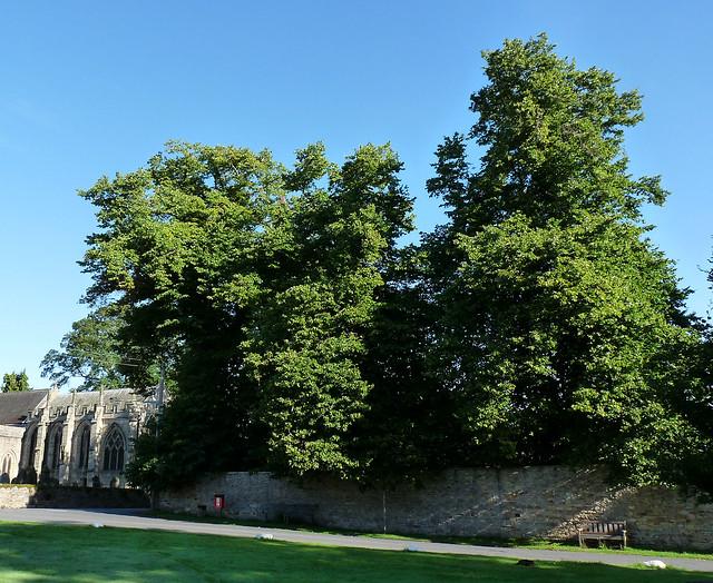 Lime - Tilia x europaea