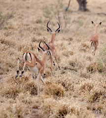 animal, prairie, antelope, springbok, mammal, herd, fauna, kudu, impala, savanna, grassland, safari, gazelle, wildlife,