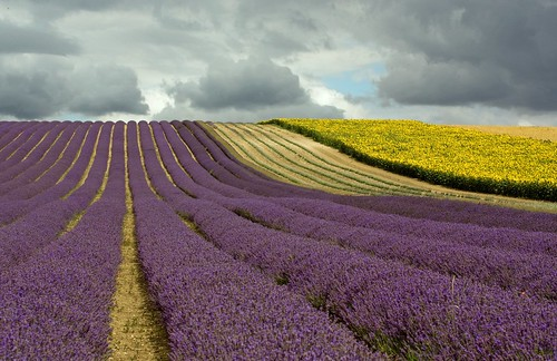 uk field clouds day cloudy lavender sunflowers hertfordshire hitchin supershot hitchinlavenderfarm gettyimagesuklocation welcomeuk