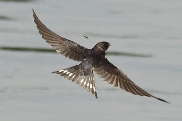 Swallow Wing 60