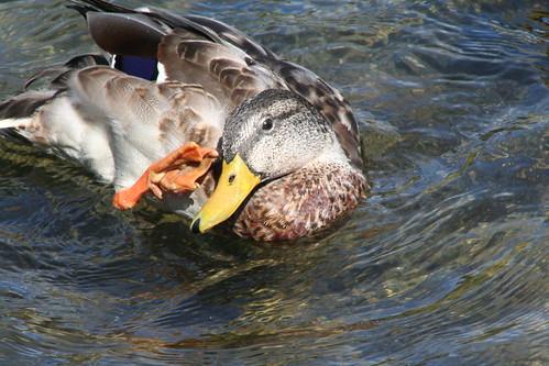 Duck Scratch