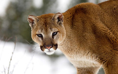 cougar, animal, mammal, fauna, cat-like mammal, close-up, puma, whiskers, wildlife,