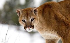 [フリー画像素材] 動物 1, 哺乳類, ピューマ ID:201201151000