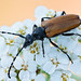 Long Horn Beetle on Yarrow