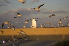 animal migration, animal, charadriiformes, wing, flock, gull, bird migration, bird, flight, seabird,