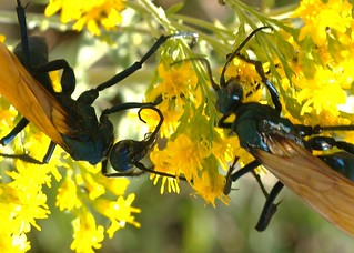 Tarantula Hawks, females
