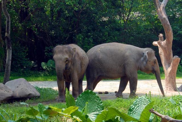 香江野生动物园 亚洲象