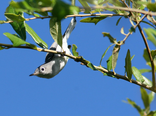 Blue-gray Gnatcatcher 20100920