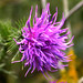 Thistle by clivenutton