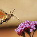 Hummingbird Hawk Moth by richard.heeks