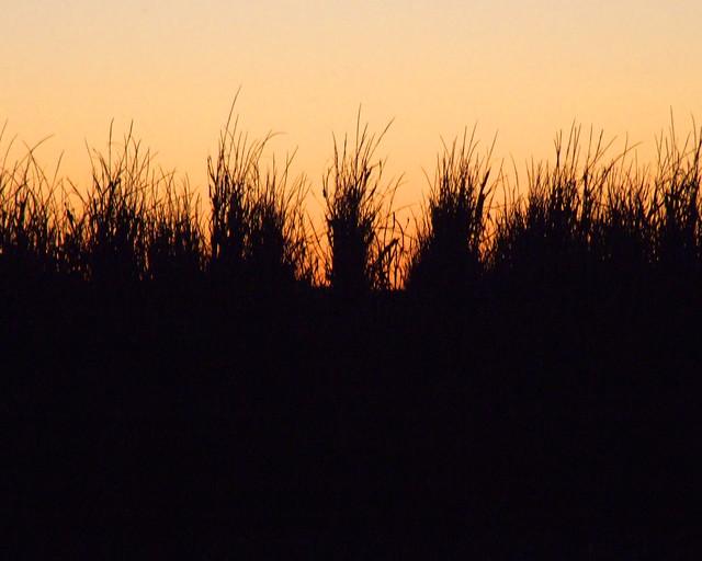 Cornfield Silhouette  ...