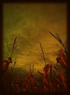 In the cornfield #PSExpress #iphoneography