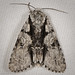 Acronicta funeralis 20100716_1665 by GORGEous nature