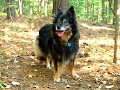 german shepherd dog(0.0), lapponian herder(0.0), finnish lapphund(0.0), dog breed(1.0), animal(1.0), dog(1.0), pet(1.0), mammal(1.0), bohemian shepherd(1.0),