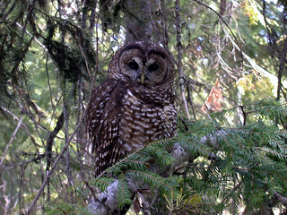 Threatened northern spotted owl (Strix occidentalis caurina)