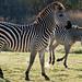 Zebra and foal by BeechcraftMUC