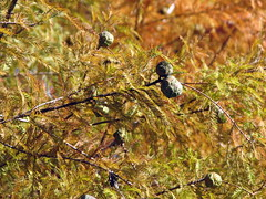 Bald Cypress in Autumn Lake Crabtree NC 0459