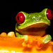 Small photo of Red-eyed Treefrog (Agalychnis callidryas)