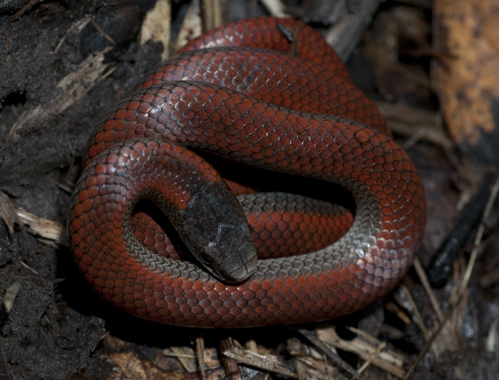 Northern Sharp-tailed Snake (Contia tenuis)