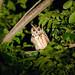 Striped Owl (Tarina Hill)