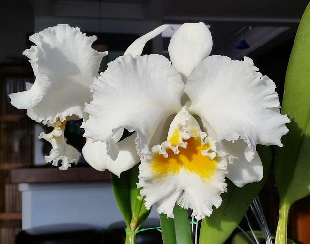 Cattleya Jose Marti 'Mother's Favorite'