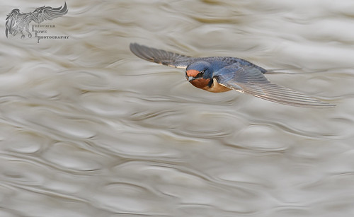 Barn Swallow 5_9 Abstract water