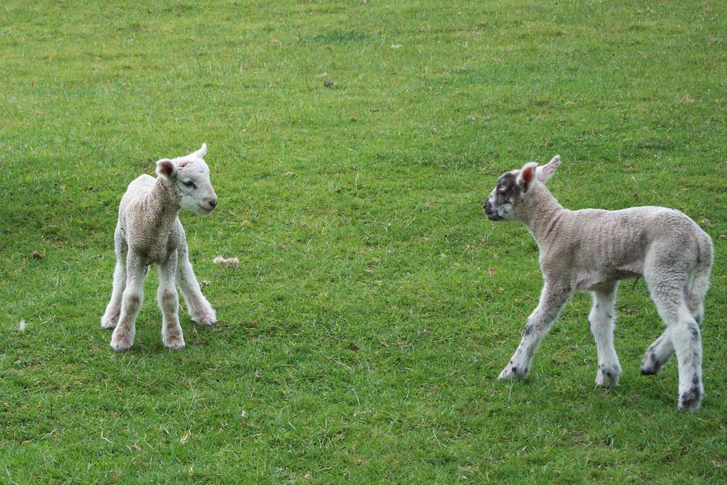 Lambs Knockholt Circular