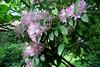 Gewone rhododendron - Rhododendron ponticum