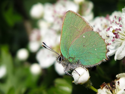 Green hairstreak male guarding his patch - poised ready to chase an intruder!