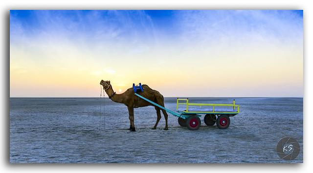 Sunset camel ride at great Rann of Kutch, Gujarat