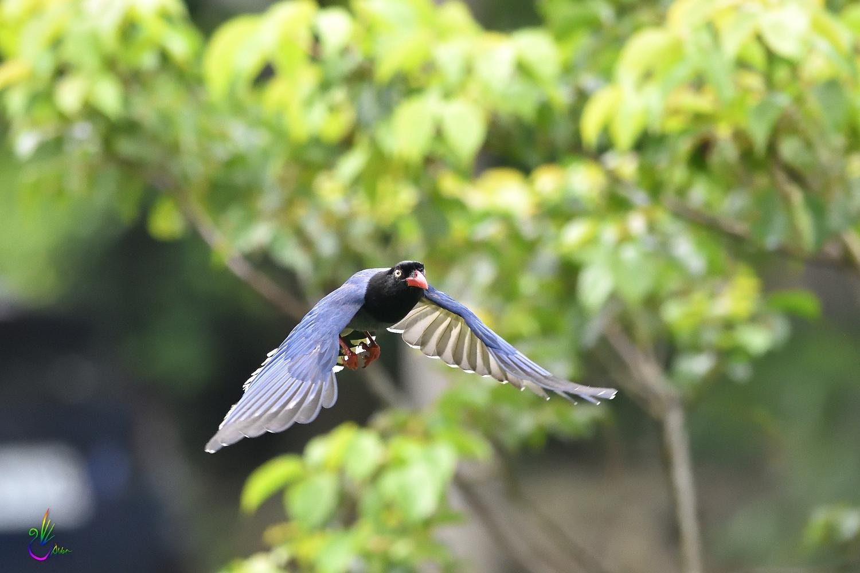 Formosan_Blue_Magpie_5952