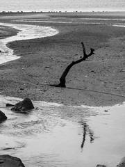 Large Branch In Tidal Flat Mud; Saddle Rock, New York
