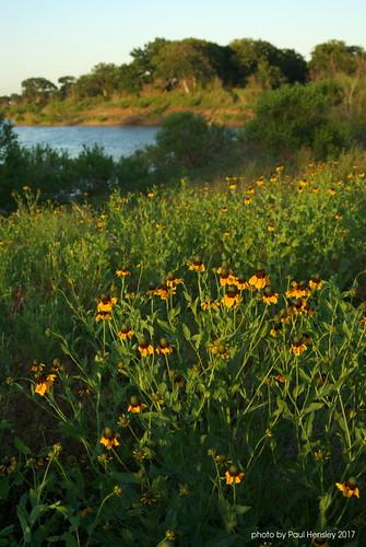 lake coneflower sunset smcf3570