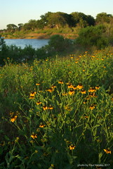 coneflowers at sunset