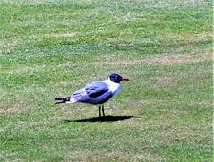 Biltmore #17 gull on fairway 975