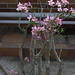 Small photo of Adenium obesum,