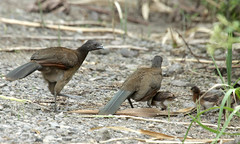 gray headed chachalaca fortuna
