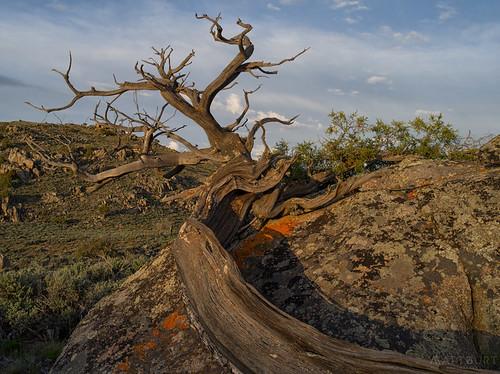 hartmanrocks juniper lichen rock sunset tree trunk