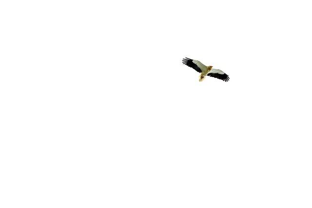 Alimoche 2017-05-04 14-14-41, RICOH PENTAX K-1, Tamron SP AF 70-200mm F2.8 Di LD [IF] Macro
