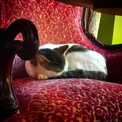 One of the #kitties pleaseantly napping in the comfy chair by the window @suttonflorist - #streetphotography #vagabond