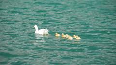 Lago di Albano - papera con anatroccoli