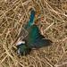 Dead Kingfisher, Owaka Heads by flyingkiwigirl